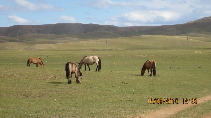 Beautiful horses at the Orkhon valley