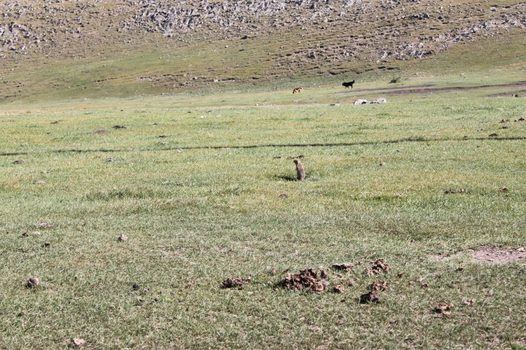 Ground Squirrel working hard before the winters set in..