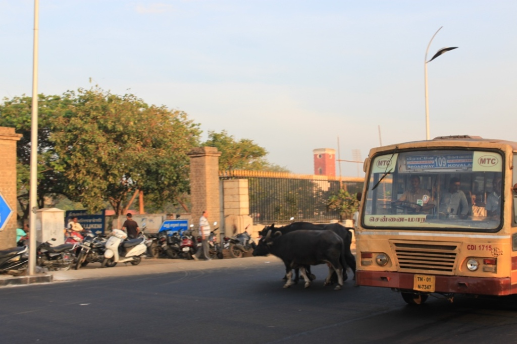 The buffaloes too have to cross the road, right ?