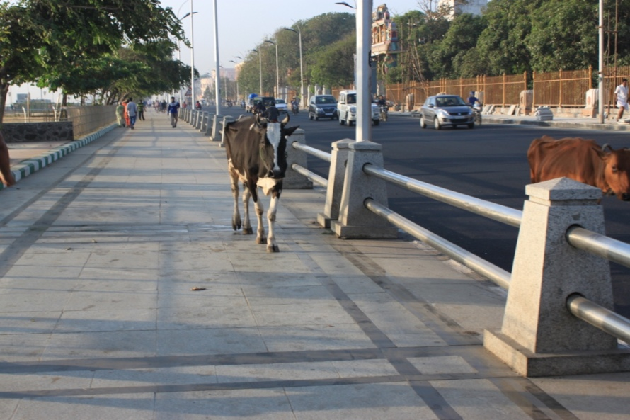 Yes, the cow too is walking early in the morning to maintain its health. Be kind :)