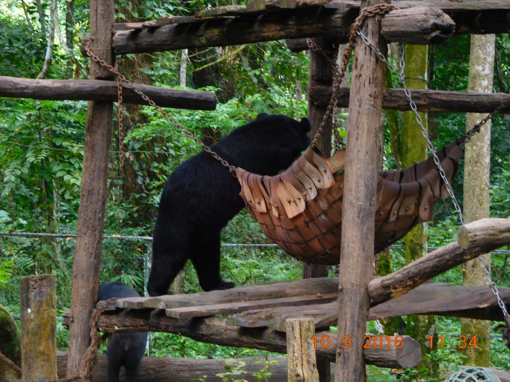 A happy moon bear walking upto its hammock!