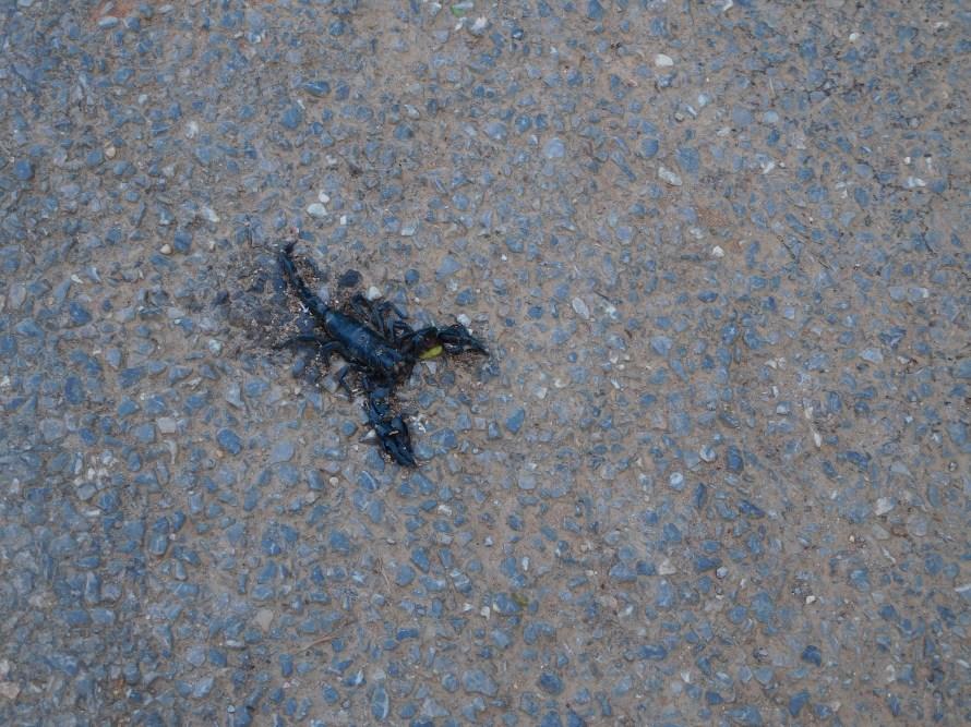 A dead scorpion ...